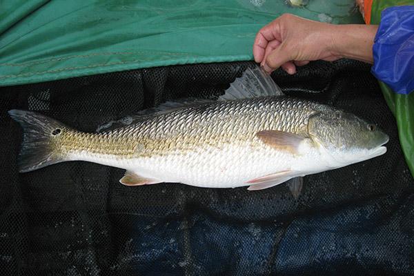 美國紅魚親魚