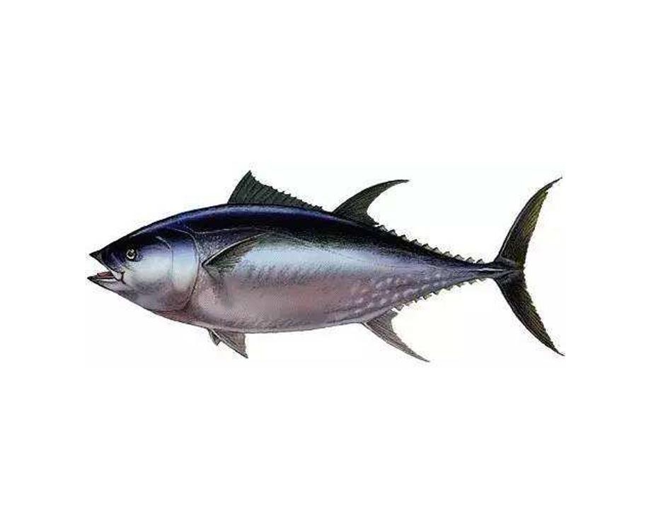 大目金槍魚