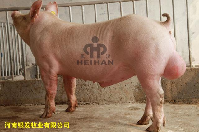 新美系大白种猪