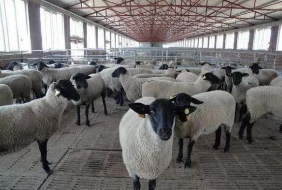 羊光吃不長,你或許是沒做對這些!