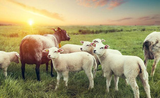 牛羊只喂青草,注意以下問題
