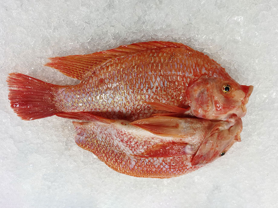 開背羅非魚(彩虹鯛)