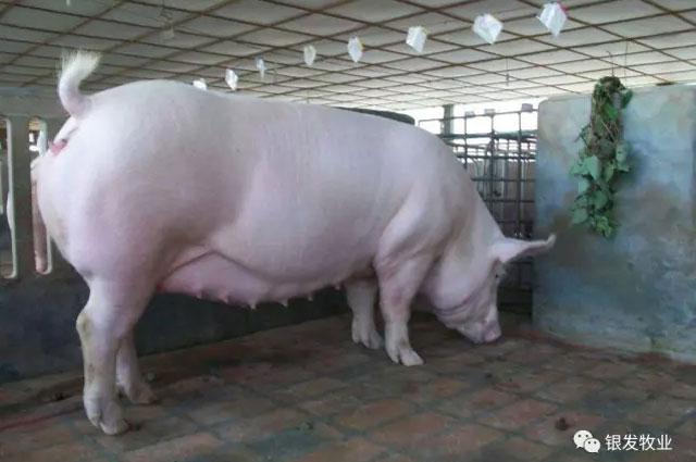 二元怀孕母猪