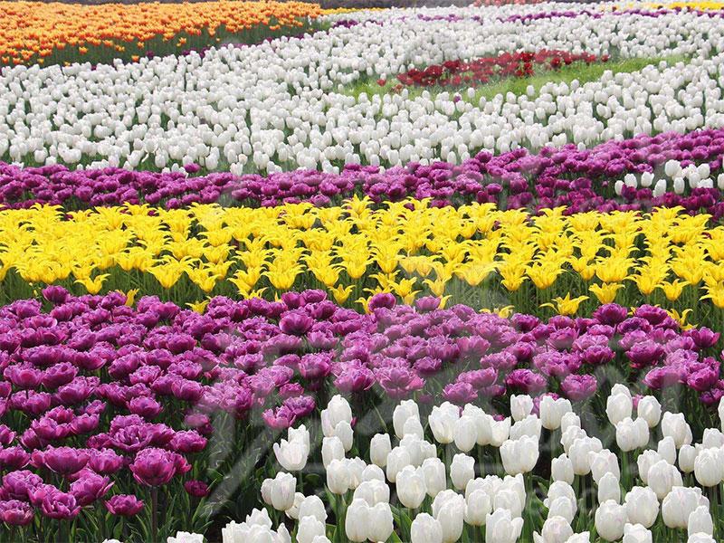 2020年中国(定州)苗木花卉园林博览会9月28日开幕