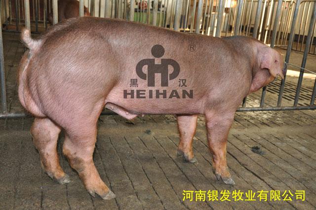 新美系杜洛克种猪