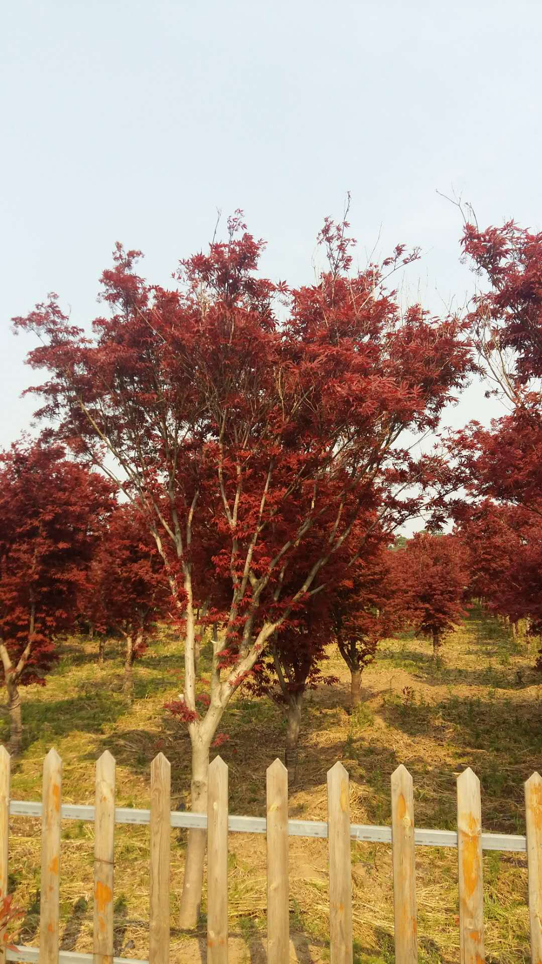 景觀用樹-楓樹