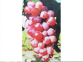 红提葡萄-1